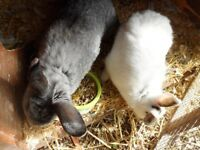 TWO RABBITS TO BE RE HOMED TOGETHER MALE AND FEMALE LOP CROSSED ENGLISH 7 MONTHS OLD...
