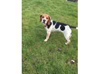 Female beagle aged 1 named Frankie