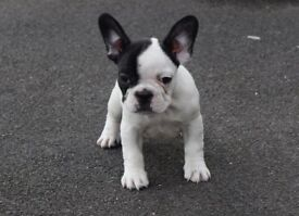 Beautiful Litter of French Bulldog Puppies Available Now