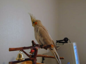 ❤★❤Handfed Cockatiels with Cage❤★❤
