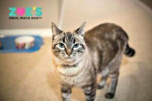 "Adult Female Cat - Siamese: ""Felicity Hunt"" Strathcona County Edmonton Area image 3"