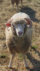 Horned Dorset Ewe Lambs for Sale PPU