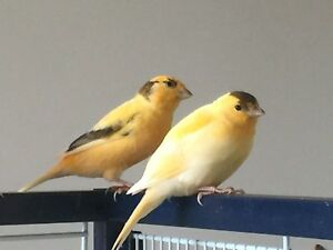 Beautiful healthy singing Canary for Sale