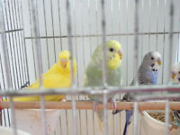 3 to 6 month baby budgies for sale £10 each