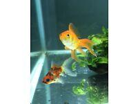 2 Goldfish
