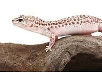2 female leopard gecko