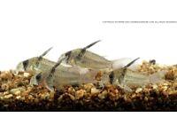 Corydoras C096 Armatus Cory tropical fish