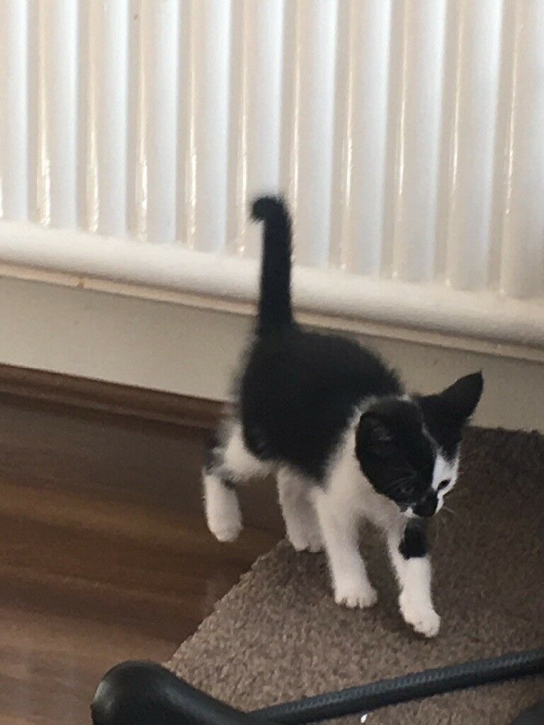 1 adorable kitten black and white male