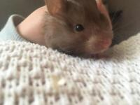 Hamster needs rehoming asap