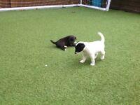 Patterdale terrier female pup