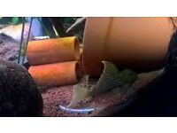 2 golden green phantm highfin