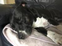 Staffordshire bull terrier missing