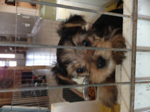 3 Yorky Puppies, Born Canada Day-Pre Selling-1 male left!