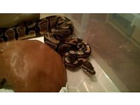 Male Normal het Albino + Pied Ball python CB15