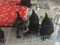 Schnauzer pups for sale , pure black and also salt & pepper KFC registered vet checked injected
