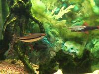 Aquarium Fish, including Catfish, Torpedo Barb, Red Tailed Sharks