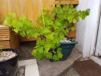 Large white Grape vine in plant pot