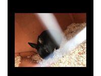 Rabbit Netherland Dwarf Rabbit