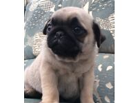 Lovely fawn boy and black pug girl for sale