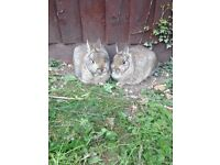MISSING PET RABBITS