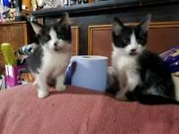 2 x male kittens