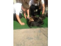 Fully KC registered 5 generation French Bulldog Puppies