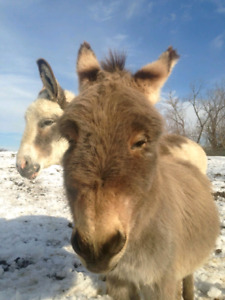 Looking for a donkey or mule for our family farm