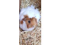 Girl guinea pig for sale