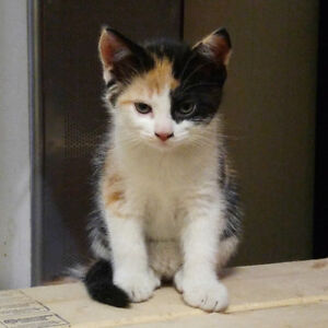 ONLY TWO AVAILABLE - Calico kittens ready for new home(s)
