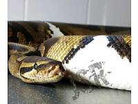 Piebald Royal Python Pied.