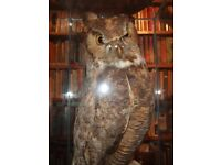 Taxidermy Great Horned Owl