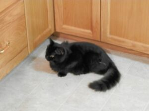 Black Male Neutered Cat with Only One Eye Lost - Deep Brook