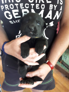 Berger Allemand chiot pure race / German Shepherd puppies pure