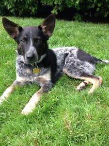 Australian cattle dogs - blue/red heelers - bouviers australiens