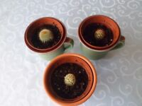 Three Different Prickly Cactus Species, 2 in Vintage Ceramic Pottery Cups, 1 in Terracotta Pot