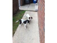 Springer pups