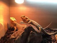 2x bearded dragons and 4 foot vivarium