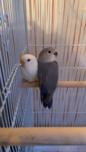 Love Birds For Sale or Trade