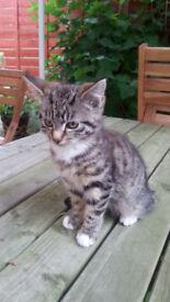 Cute & Playful Kitten for sale