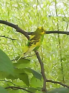 Budgie sighted