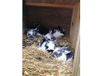 Pure bred mini lop rabbits for sale.