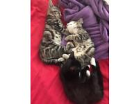 2 Tabby and one black/white kitten looking for a forever home