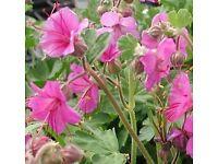 Gorgeous Geranium Bevans Variety