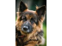 Leonberger X German Shepherd