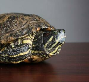 "Adult Female Scales, Fins & Other - Red-Eared Slider: ""Apples"""