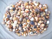 500 GRAMS FROM THIS MOUNTAIN OF DECORATIVE MEDITERRANEAN SEA SHELLS