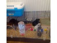 Three male guinea pigs with everything you need.
