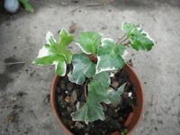 Plants for sale- Hedera helix (English Ivy) in a 10 cm pot