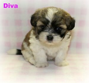 ADORABLE SHIHPOO PUPPIES