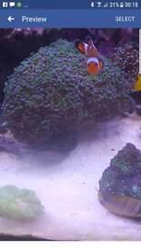 24 head aussie euphyilia coral
